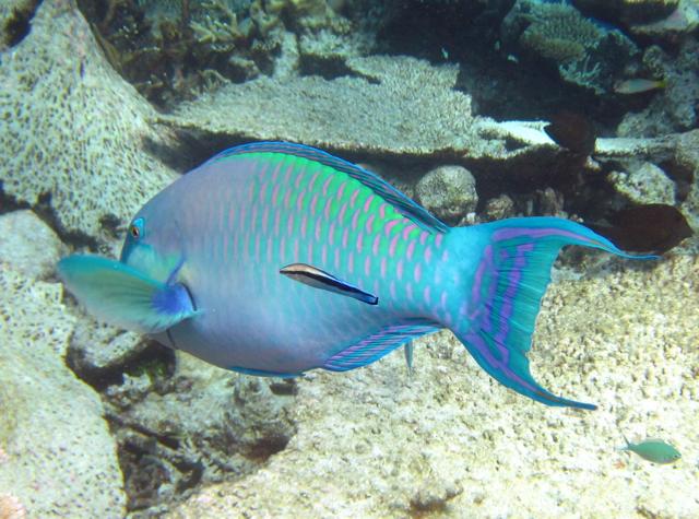 Park Hyatt Maldives Diving and Snorkeling - Parrotfish