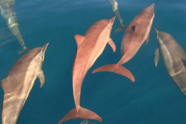 Park Hyatt Maldives Diving and Snorkeling - Spinner Dolphins