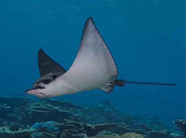 Park Hyatt Maldives Diving and Snorkeling: White Spotted Eagle Ray