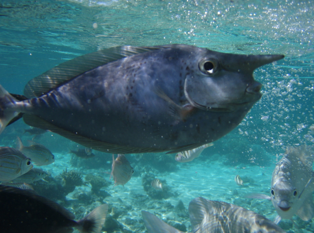 Park Hyatt Maldives Diving and Snorkeling - Unicornfish