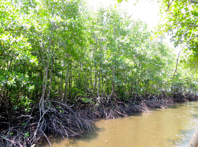 Mangrove Forest, Koh Taen
