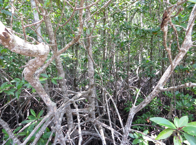Mangrove Roots, Mangrove Forest on Koh Taen with Tours Koh Samui