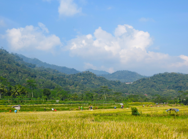Andong Ride in Borobudur - View of Rice Harvesting