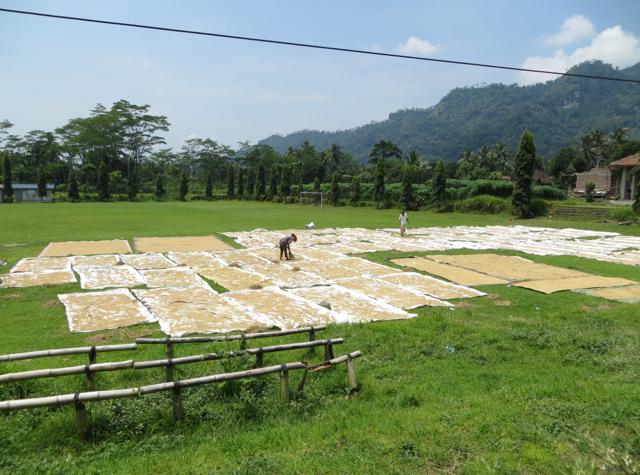 Andong Ride in Borobudur - Drying Rice
