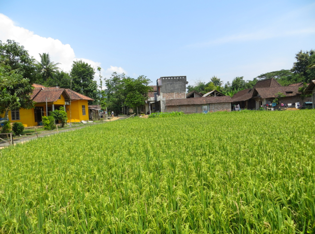 Andong Horse Cart Ride - View of Rice Fields