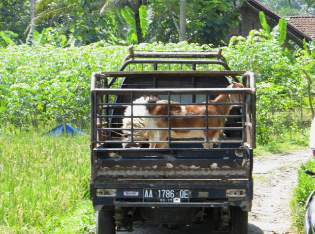 Andong Ride in Borobudur - Stalled Vehicle with Goats