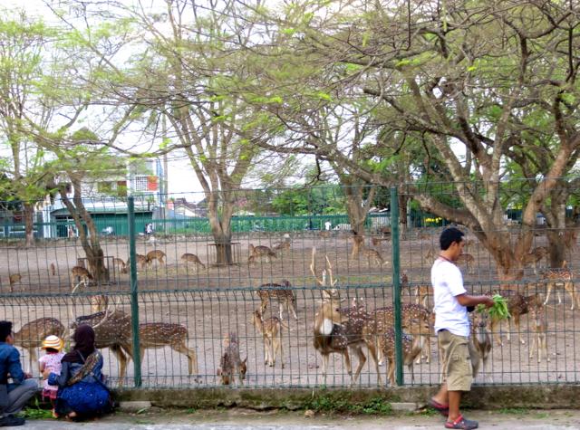Feeding Deer, Prambanan