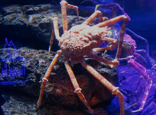 Siam Ocean World Bangkok Aquarium - Giant Crabs
