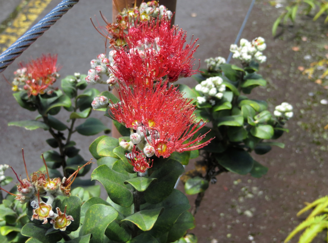 Hawaii Volcanoes National Park Review -Ohia with Lehua Blossoms