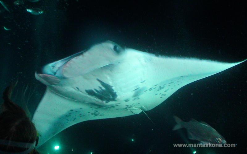 Manta Ray Night Dive Review, Kona, Hawaii